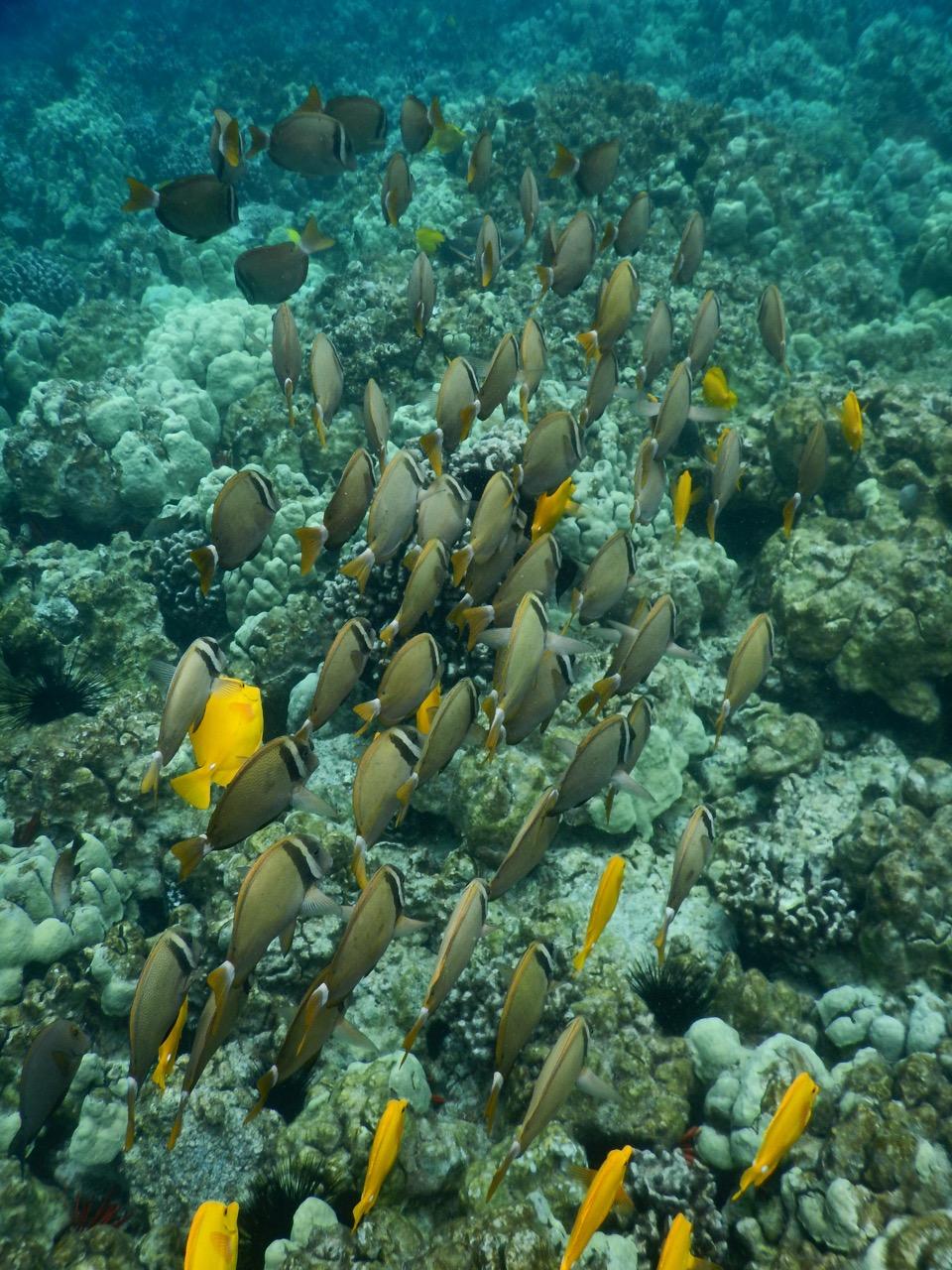 A school of Whitebar Surgeonfish.