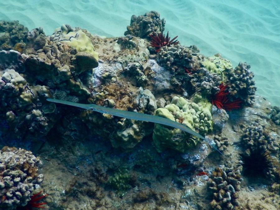 A Needlefish on Keawakapu Beach.