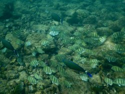 A school of Convict Tangs.