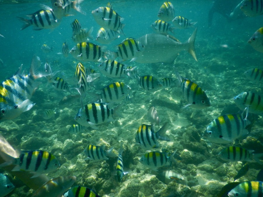 A school of Sergeant Major fish, Poipu Beach.