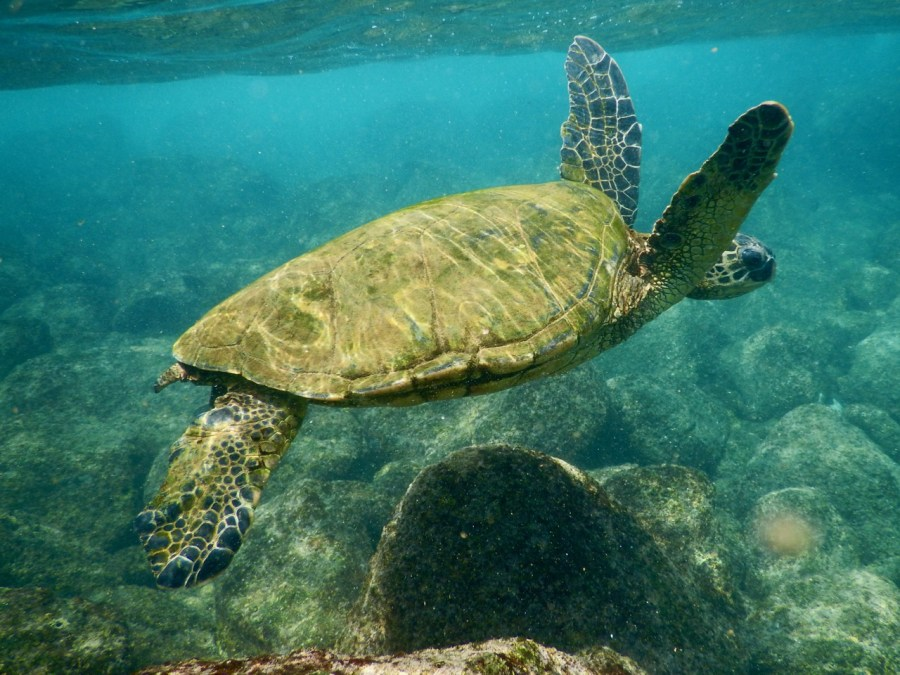 An Hawaiian green sea turtle.