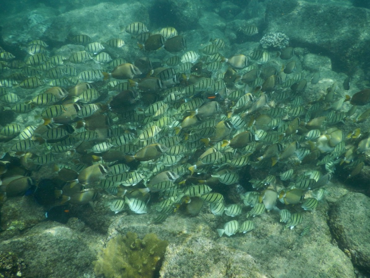 A big school of Convict Tang and Whitebar Surgeonfish.
