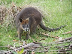 A wallabie.