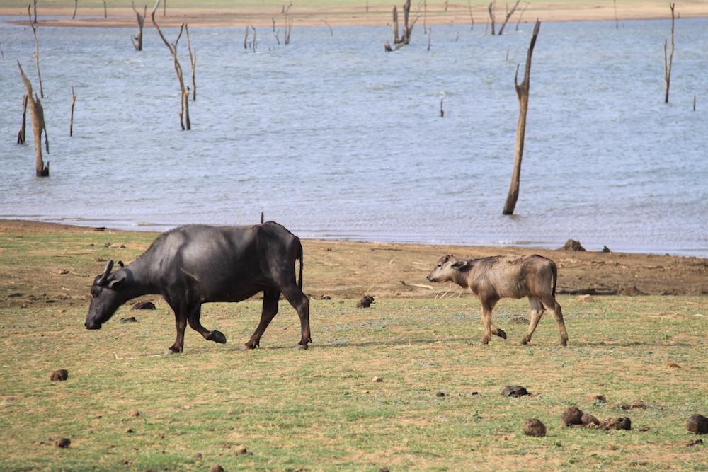 A buffalos and her calf.