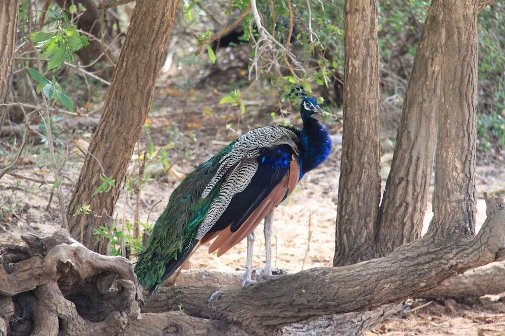 A peacock.
