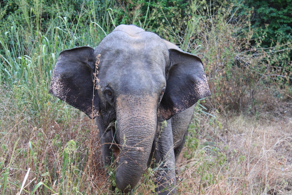 A young elephant eating on the side of the road near Sigiriya.