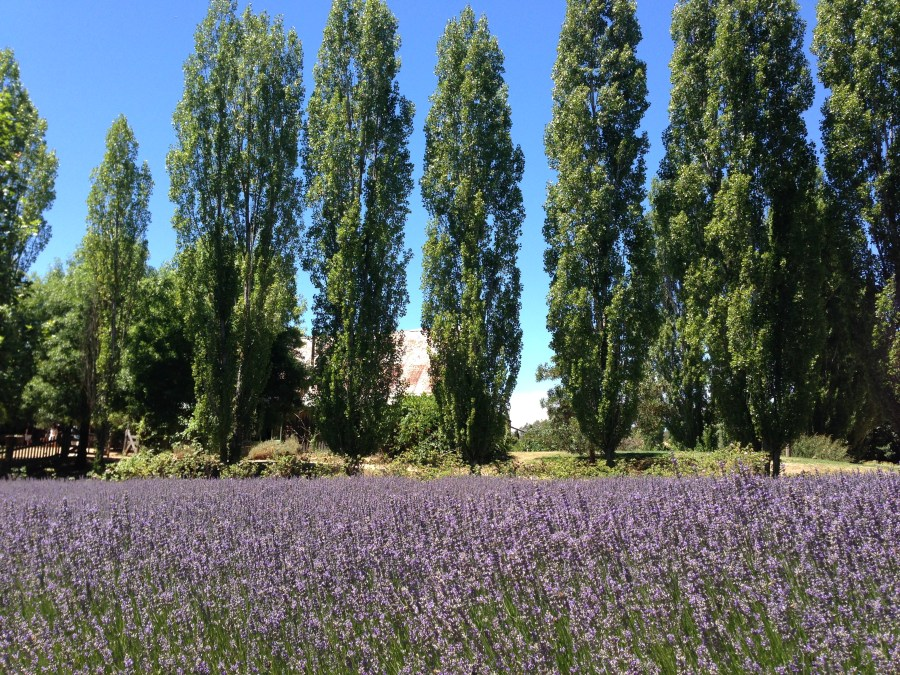 Fields of lavender at Lavandula.
