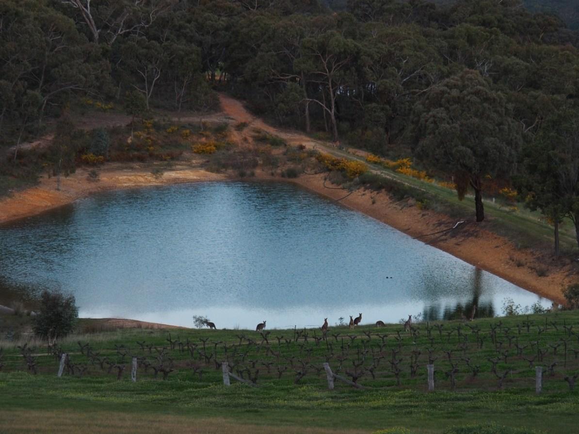 Kangaroos by the dam.