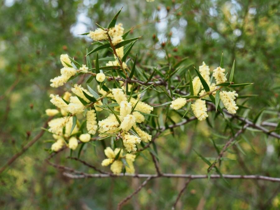 Some wattle in bloom.
