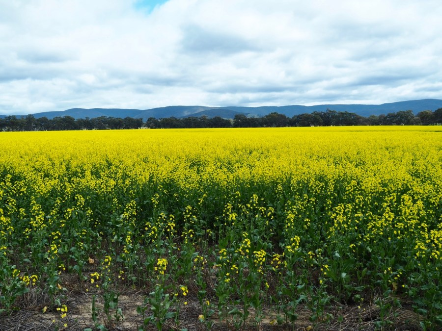 A field of Canola.