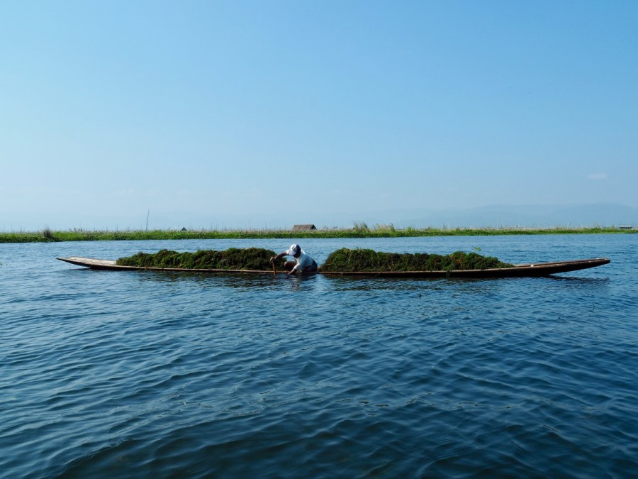 A local gathering weed from the bottom of Inle lake.