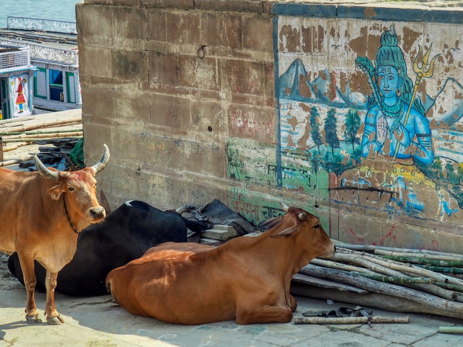 Indian Cows
