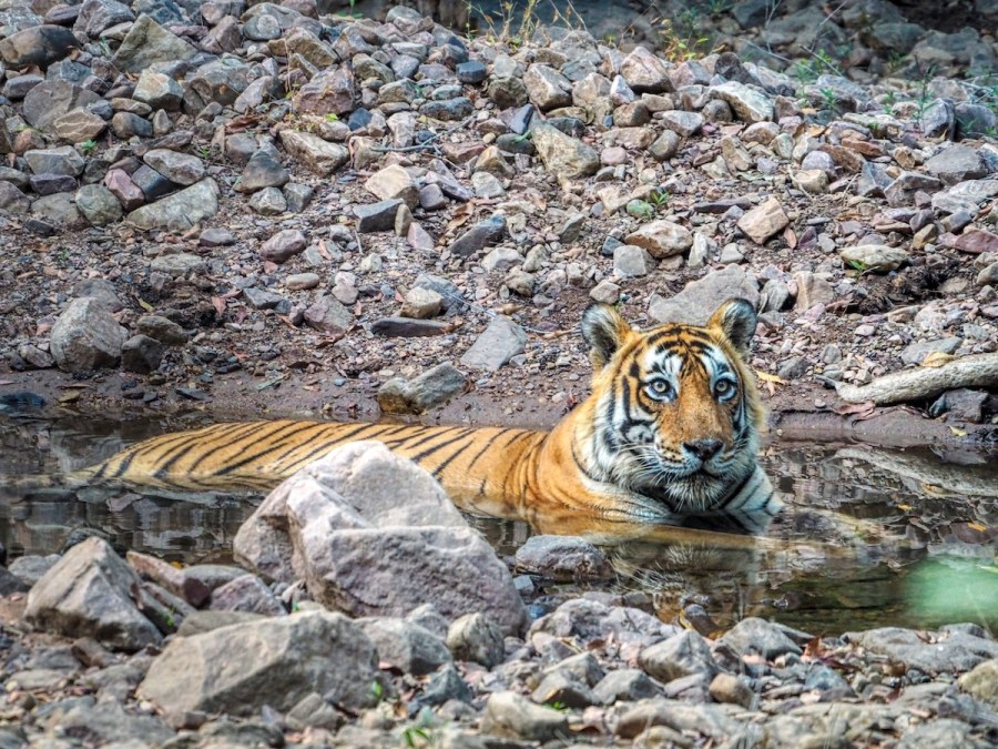 Bengal Tiger in Ranthambore National Park