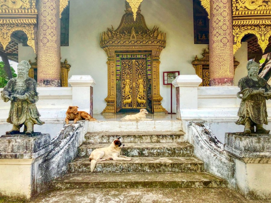 Dogs in front of a temple in Luang Prabang