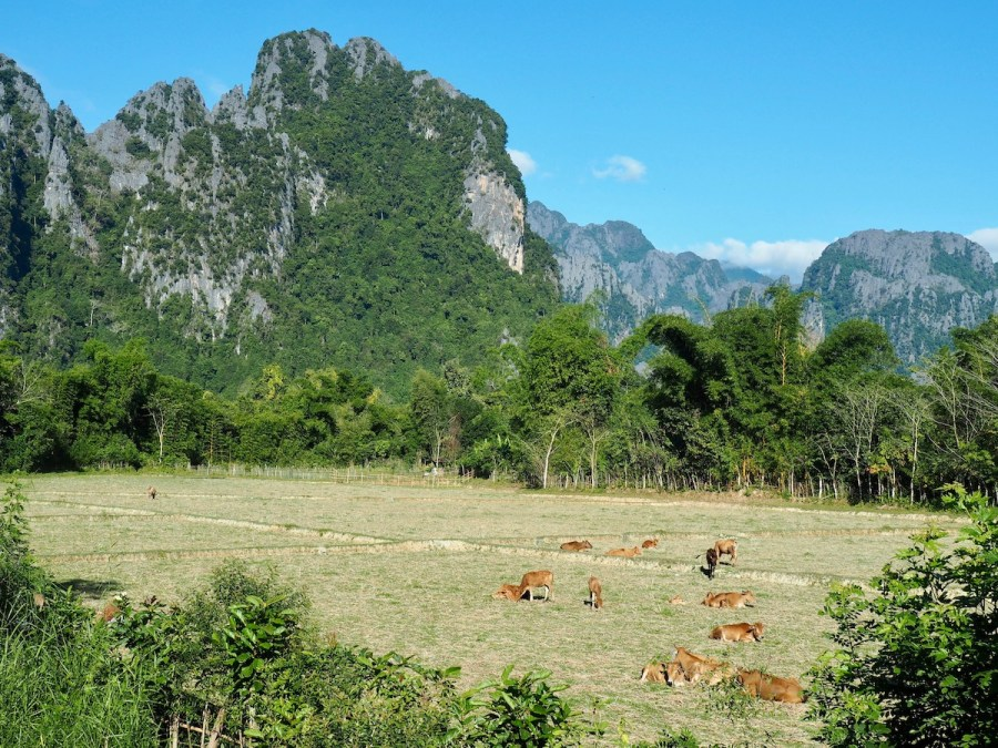 Rice fields in Vang Vieng