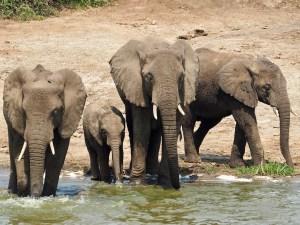 Elephants at the Queen Elizabeth National Park
