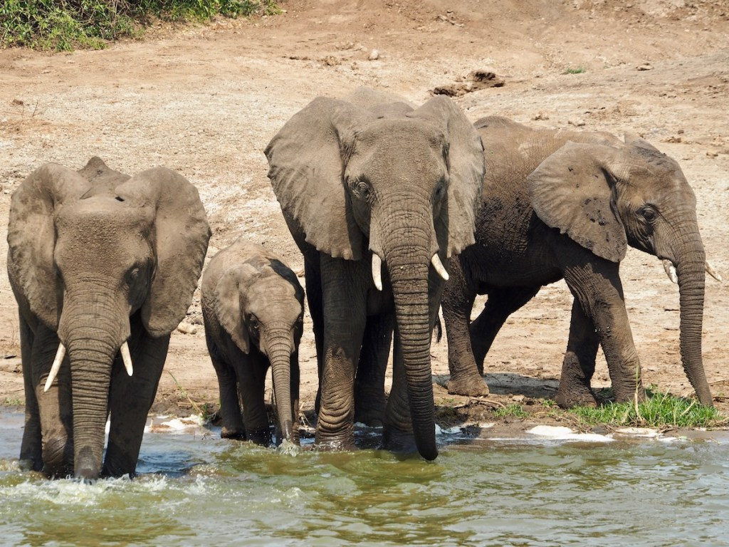 Elephants at the Queen Elizabeth National Park