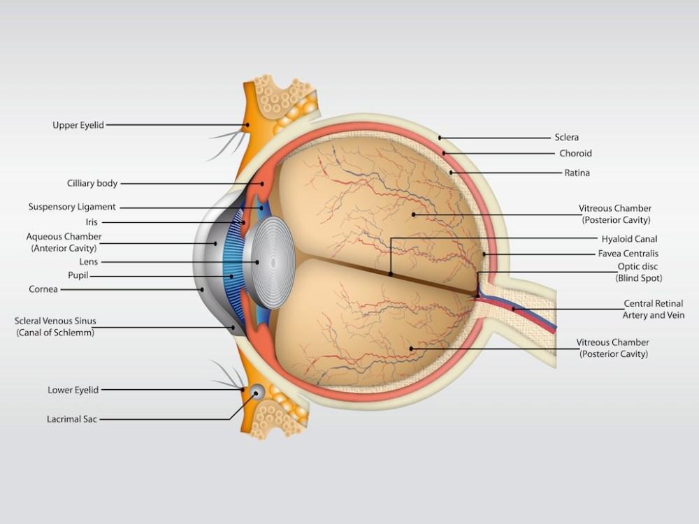 medium resolution of eye anatomy vector