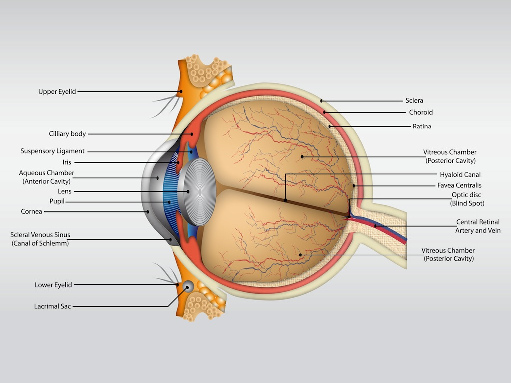 hight resolution of eye anatomy vector