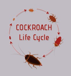 life cycle of cockroach vector art graphics freevector com [ 1136 x 936 Pixel ]