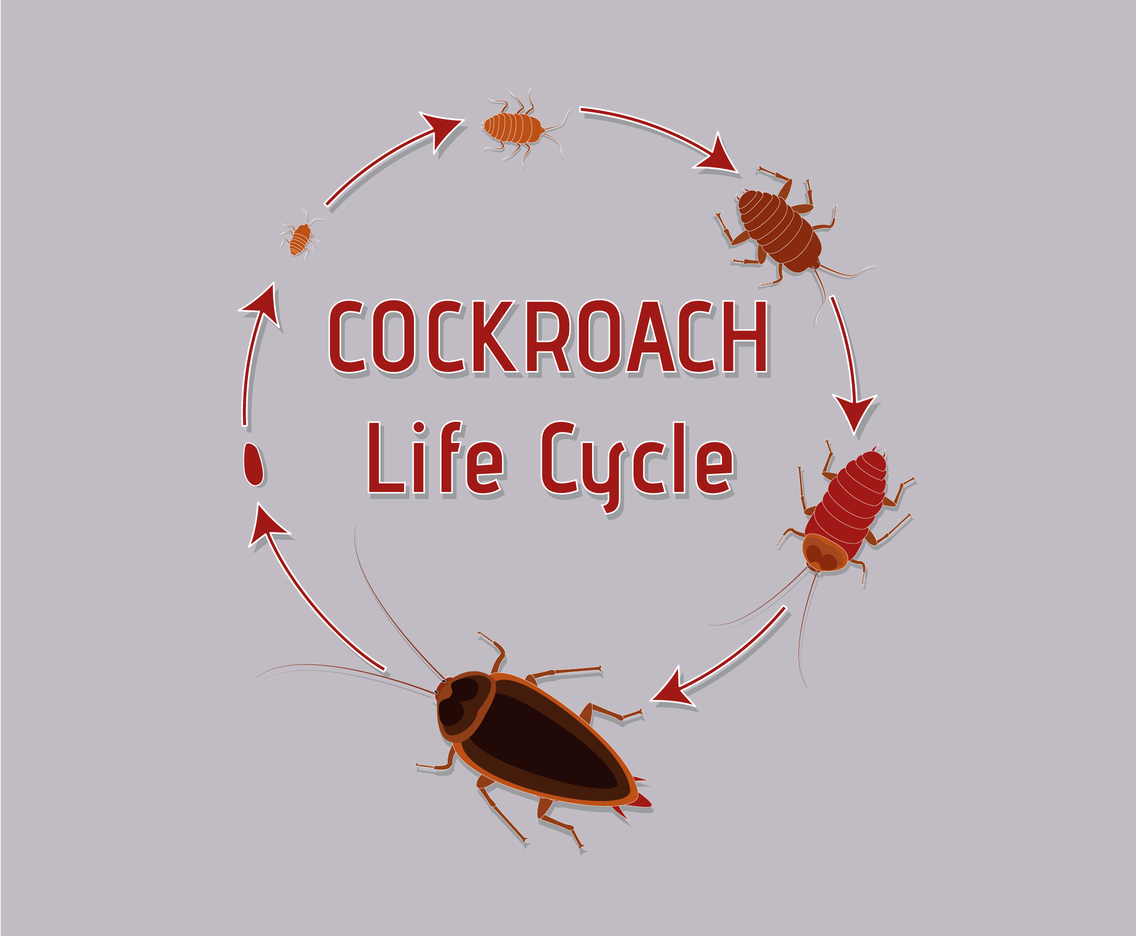 hight resolution of life cycle of cockroach vector art graphics freevector com