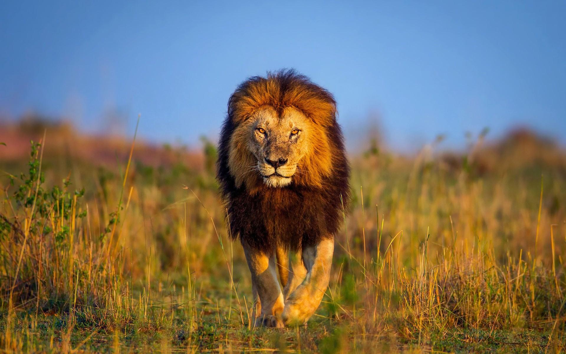 Master Walk Lion Photo Hd Wallpapaer Download Images