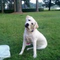 Lab puppies in mt to download lab puppies in mt just right click and
