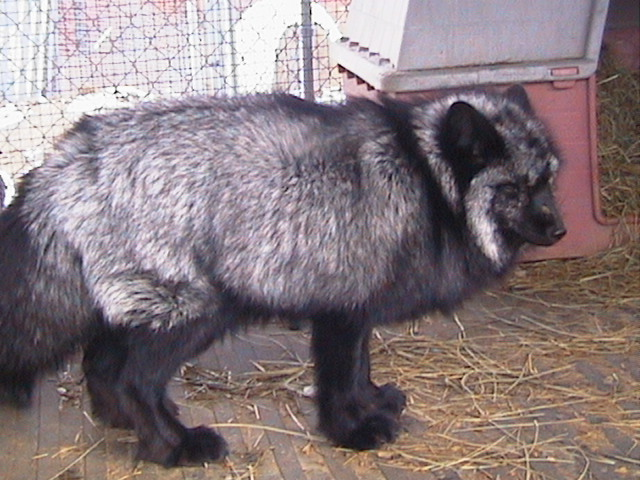 wess exotic animals skunks