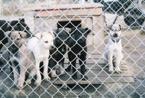 Sled Dog Alaska, The Day to Day Life of a Dog Handler / Musher