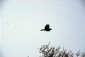 Raven Alaska