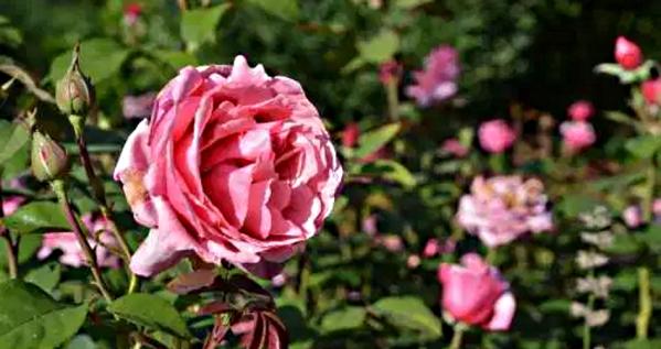 Der Rosengarten in München
