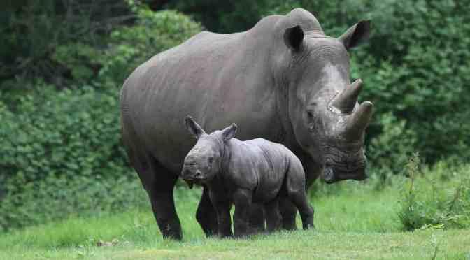 Vorreiterrolle in Europäischer Nashornzucht