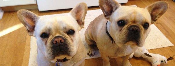 Chicago French Bulldog Rescue  