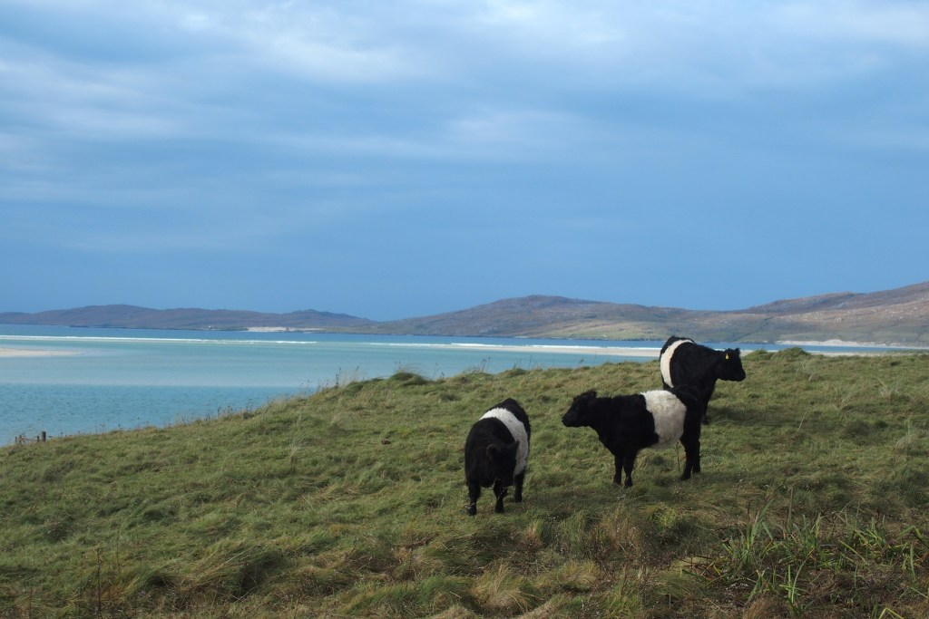 harris hebrides scotland belted galloway