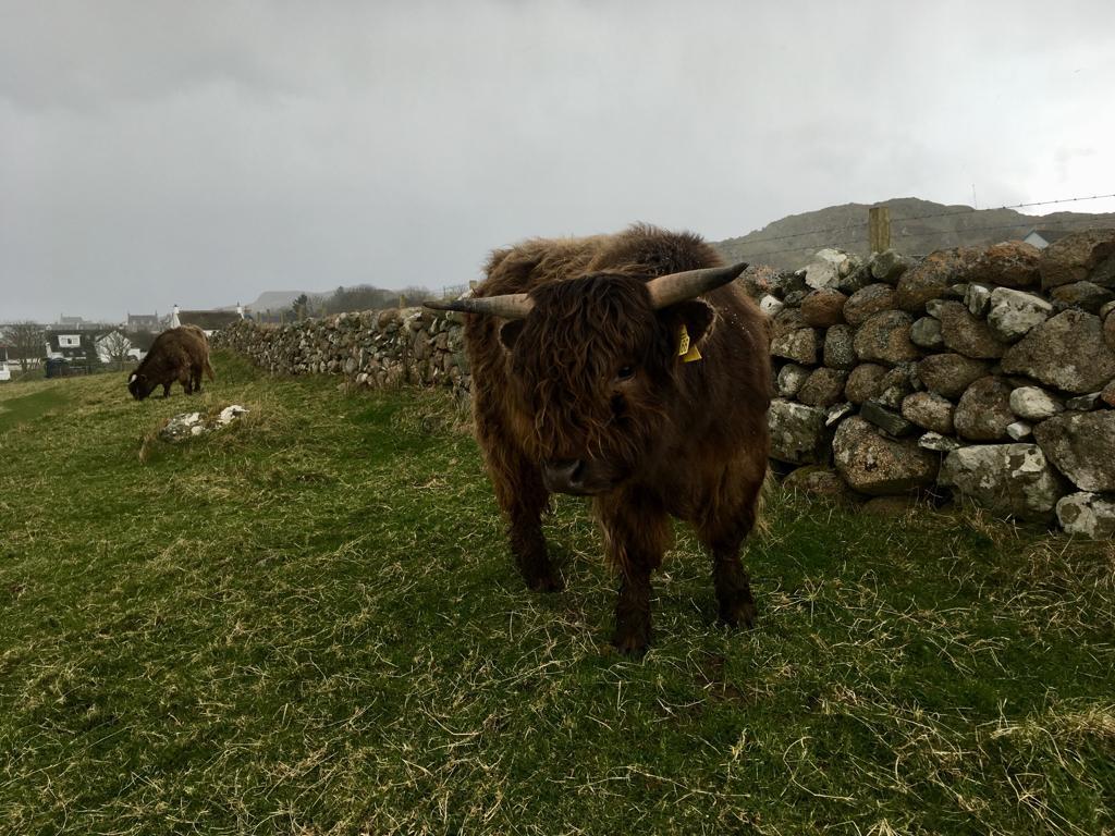 iona highland cow