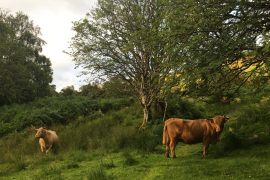 vaches highlands trossachs