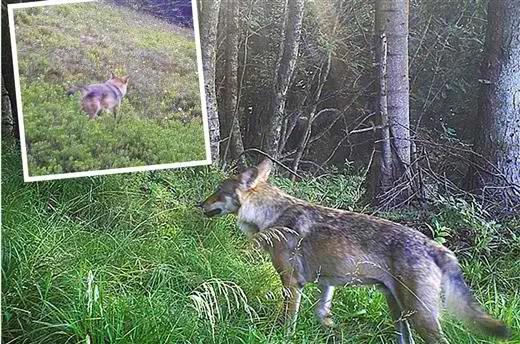 Le loup est de retour dans les Vosges © ONCFS et DR