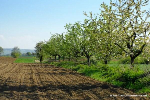 séjour printanier en Alsace : Cerisiers au bord des champs © French Moments