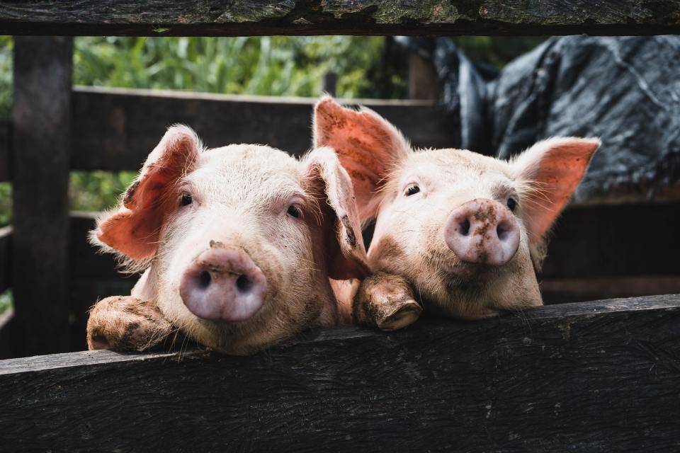 Copain-comme-cochon