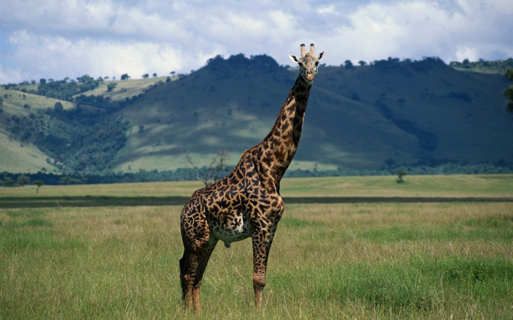 Cute Boo Desktop Wallpaper 30 Amazing And Cute Pictures Of Giraffes