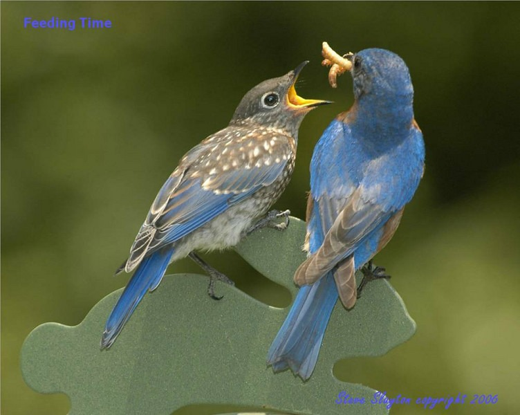 Lovely Cute Baby Couple Wallpaper 30 Beautiful Bluebird Pictures And Images
