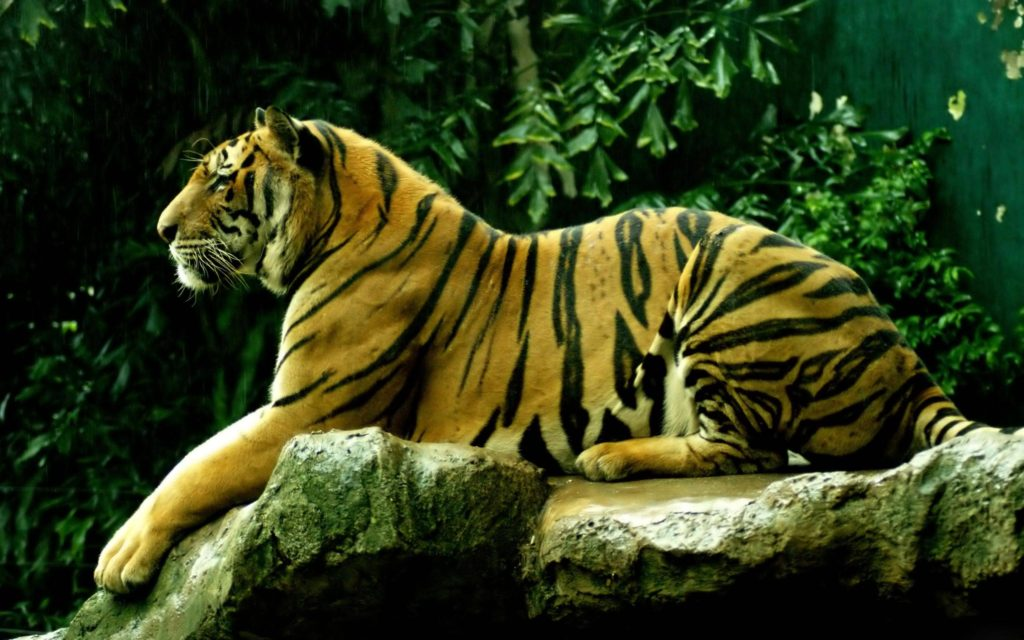 Cute Tiger Cubs Hd Wallpapers Bengal Tiger Pictures And Wallpapers Collection