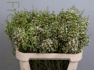 Pearl Buttons Waxflowers grower, exporter & producer