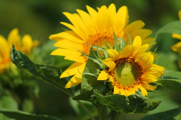 Plant sunflower seeds in spring, for a gorgeous summer display of colour and height