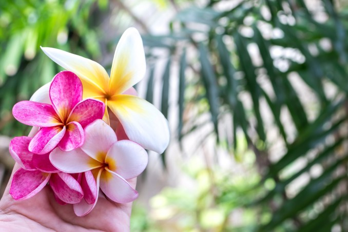 Exotic pink and white frangipani tropical flowers are perfect to add colour and vibrancy to a home conservatory