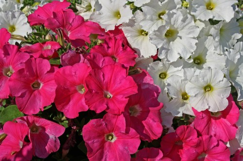 petunias pink flower garden fresh domestic