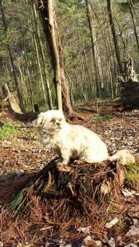 Suki dog sunning on a tree stump in the woods