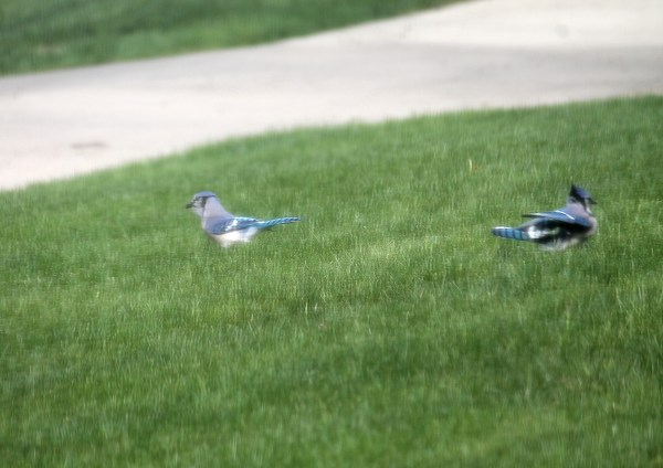 Blue Jays playing in the grass birds