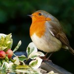 robin on a bird table