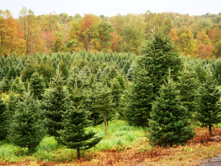 Farm Fresh Christmas Trees Grown In New York State Farm Fresh